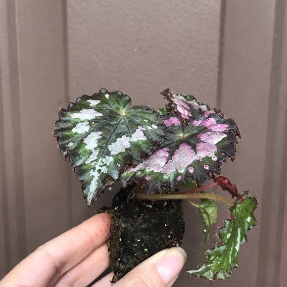 Begonia Plum Paisley